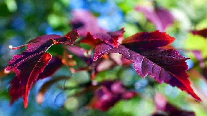 """beau fond d""""écran, feuilles d'automne couleur vin, jolies images d'automne"""