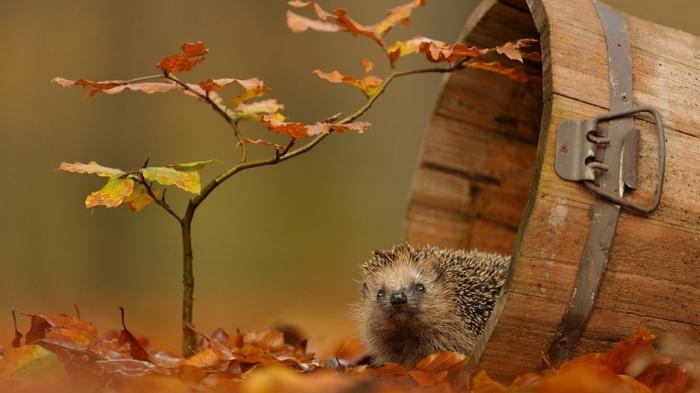 """beau fond d""""écran, petit arbre et hérisson dans un tonneau, couverture de sol en feuilles"""