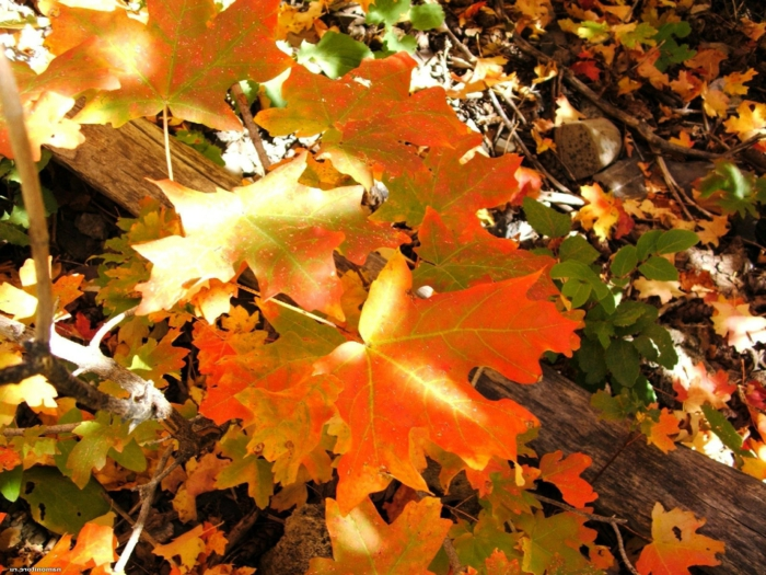 beau fond d'écran, feuilles dorées, et les rayons du soleil sur les feuilles