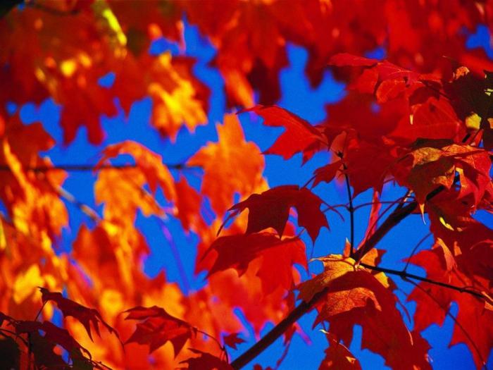 """beau fond d""""écran, le ciel bleu et les feuilles oranges sur les branches d'un arbre"""