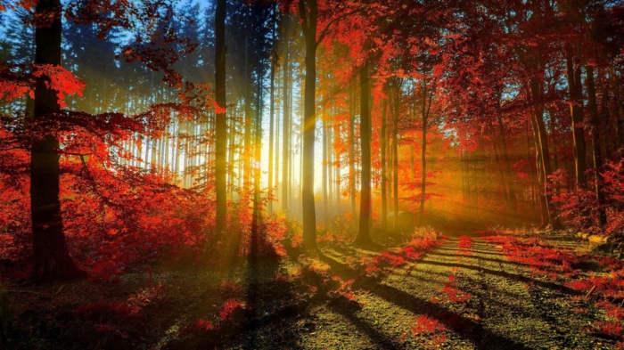 fond d'écran automne, arbres avec des feuilles rouges, le soleil qui brille derrière les arbres
