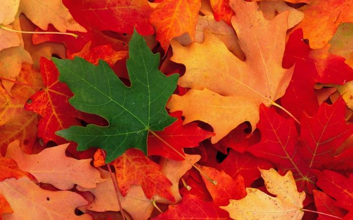 fond d'écran gratuit automne, les feuilles multicolores de l'érable japonais