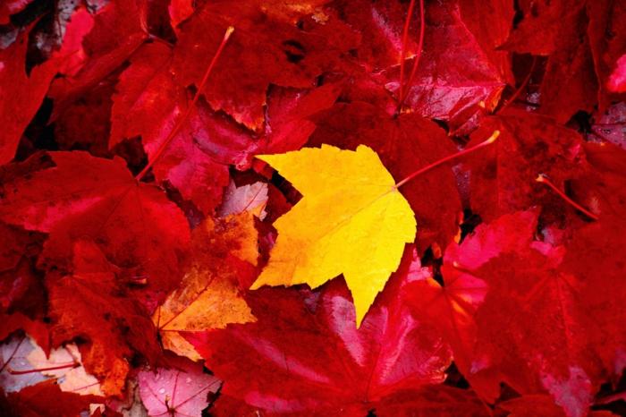 fond d'écran gratuit, une feuille jaune au sein d'une multitude de feuilles bourgoundi