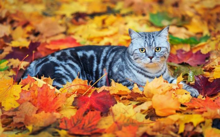 fond d'écran gratuit pour ordinateur, un chat gris dans les feuilles colorées