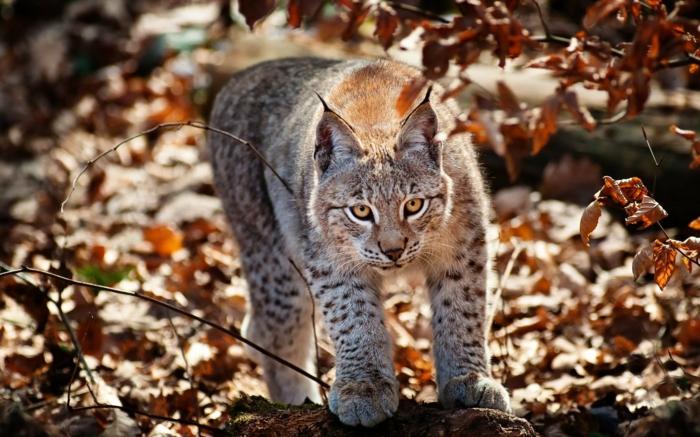 fond d'écran gratuit pour ordinateur, portrait de chat sauvage dans la forêt