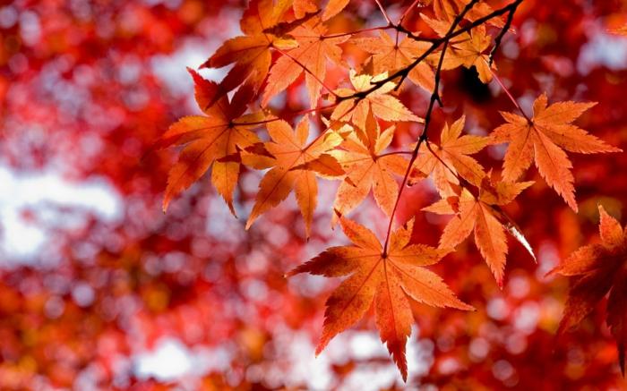 fond d'écran hd paysage, érable japonais en automne, jolies feuilles en automne