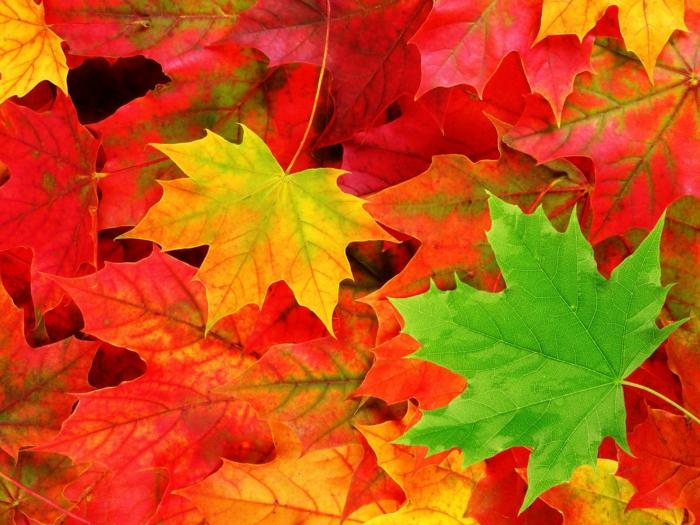 fond d'écran hd paysage, tapis de feuilles tombées fraîches en automne