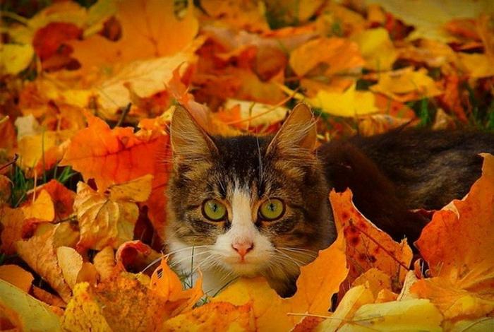 fond ecran automne, chat en gris et blanc, beauté de la nature pendant les différentes saisons