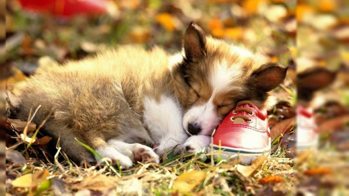 fond ecran automne, petit chien qui dort sur un soulier au sein des feuilles
