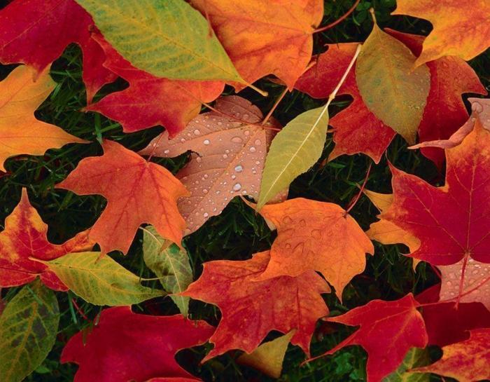 fond ecran automne, feuilles bariolées sur la pelouse verte, jolie image