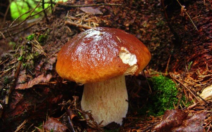 paysage automne, champignon marron dans la forêt humide, sol et aiguilles de pin