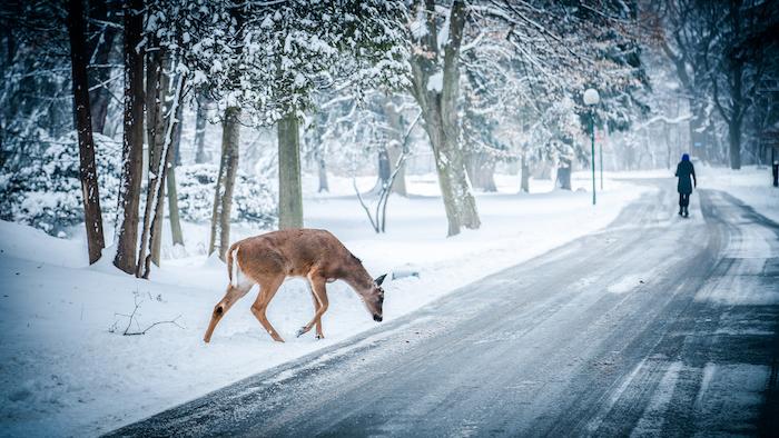 paysage hiver fond ecran, un chemin et forêt enneigé, arbres biche qui traverse, une femme au fond