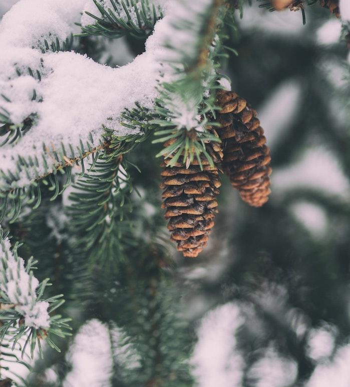 fond ecran paysage hiver, des branches de pin vertes enneigées et pommes de pin simples