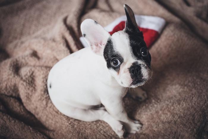 fond ecran noel avec chiot mignon blanc et noir, chapeau père noel en rouge et blanc, couverture grise
