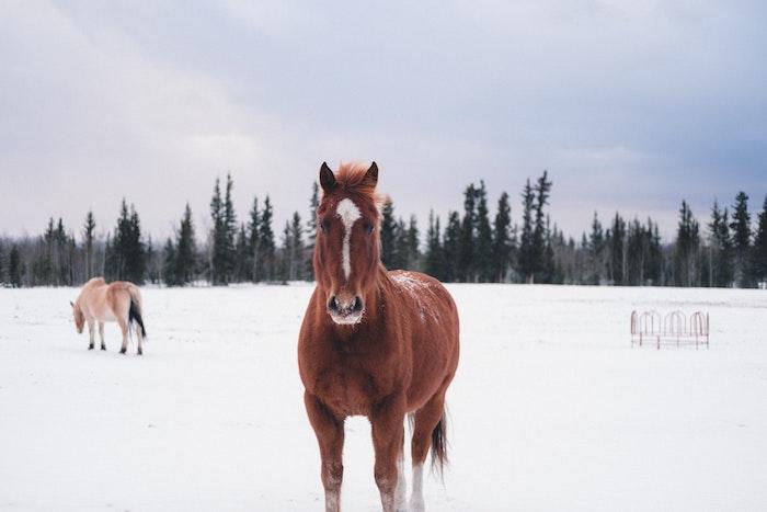 paysage hiver fond ecran avec des chevaux sur un fond enneigé, forêt de conifères sous l emprise de la neige