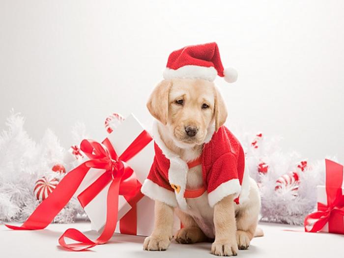 images de noel gratuites, chiot mignon vetu en costume de pere noel, cadeau blanc, paré de ruban rouge et guirlande blanche
