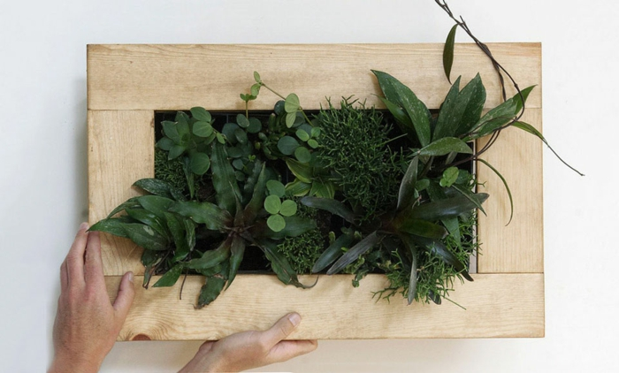 cadre en bois clair, plantes cultivées dans un petit cadre mural, mur végétalisé intérieur