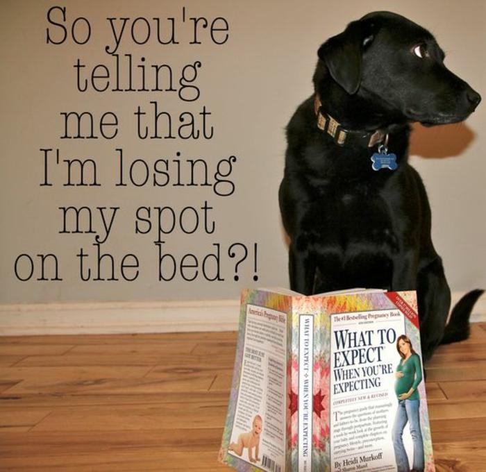 photo annonce grossesse humouristique, un chien qui a compris qu'il y aura un enfant dans la famille