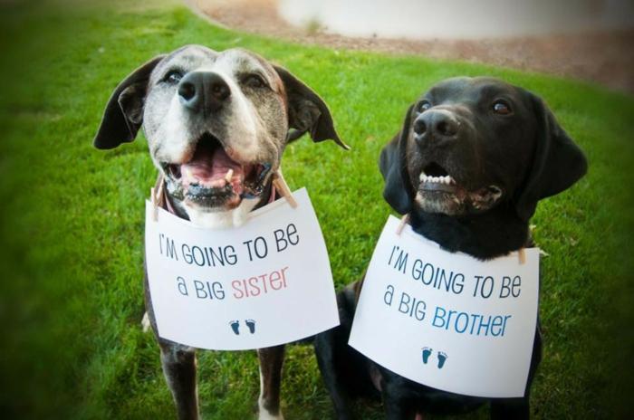 annonce grossesse originale, deux chiens qu'on a photographié avec des notes