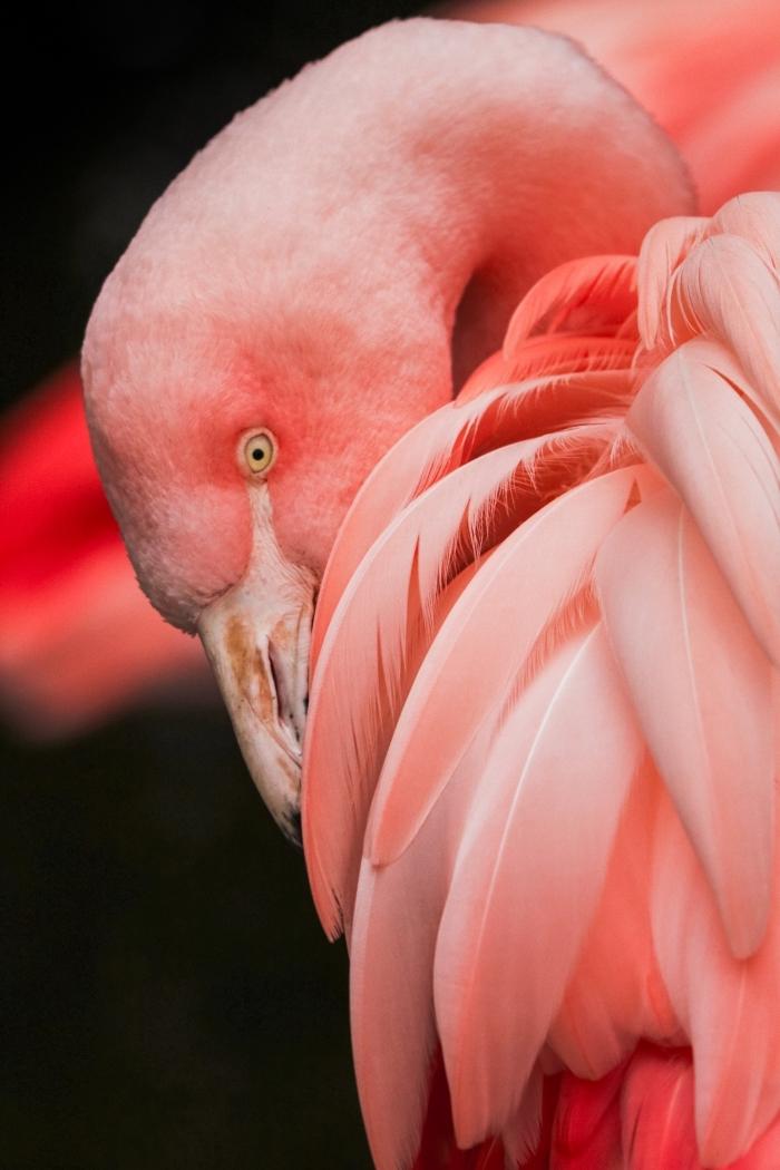 photo de flamant rose pour un beau fond d écran, exemple de fond d'écran iphone moderne à design tropical