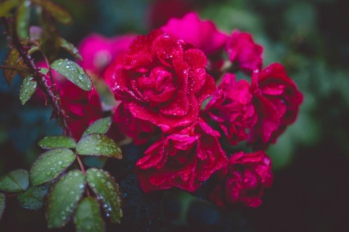 choisir un fond d écran beau avec fleurs, photo de roses rouges et feuilles vertes avec gouttes d'eau par la rosée du matin