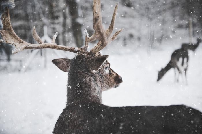 fond d écran gratuit pour ordinateur, photo de la nature sauvage avec cerfs dans une forêt enneigée