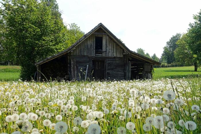 une petite maison dans la prairie, entourée de pissenlits, construction en bois gris, journée ensoleillée, arbres verts, saison été