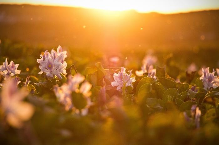jardin de fleurs rose et blanches au lever du soleil au-dessus les montagnes, fond d écran paysage avec fleurs et soleil