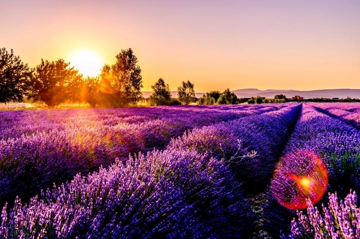 lever du soleil au-dessus de champs à lavandes et arbres, beau fond d écran avec lavandes et vue vers les montagnes lointaines