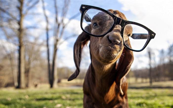 Chouette fond d écran magnifique fond d écran humour fond ecran drole photo adorable goat avec lunettes