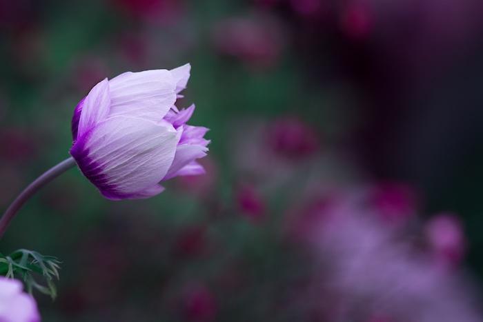 Belle photo pour fond d écran fond ecran gratuit printemps violet fleur jolie macro photo de fleur pour fond d ecran