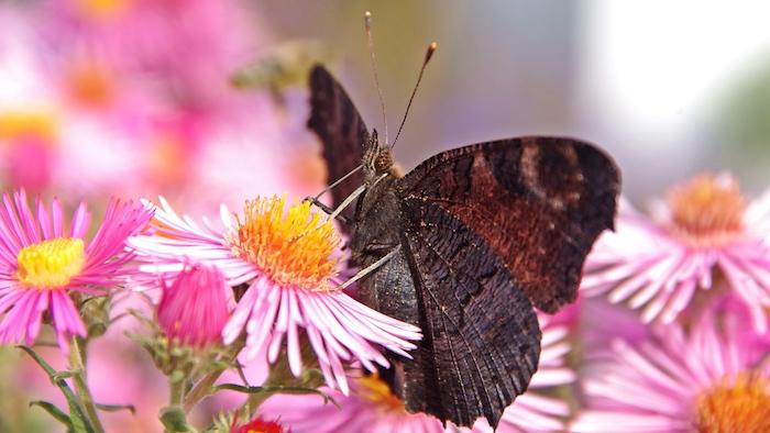 Magnifique image pour fond d'écran fleur marguerite papillon image fleurs roses et blanches