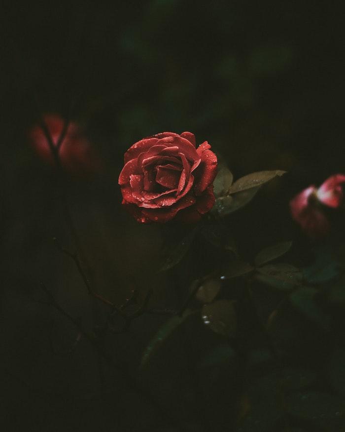 Chouette image de fleur fond d'écran rose theme fleur rose rouge fond foncé vert