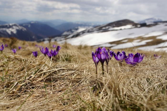 champs de paille avec fleurs violettes et vue vers les montagnes lointaines aux collines enneigées pour fond écran ordinateur