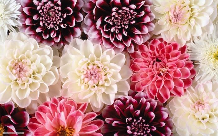 Fleurs photos gratuites fond d'écran fleurs des champs fleurs colorées rose blanche fleur jolie photo