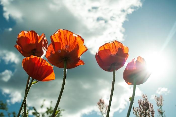 Fond d'écran fleur image de fleur fond d'écran pale tulipes rouges sur un champ belle photo paysage fleur fond d écran
