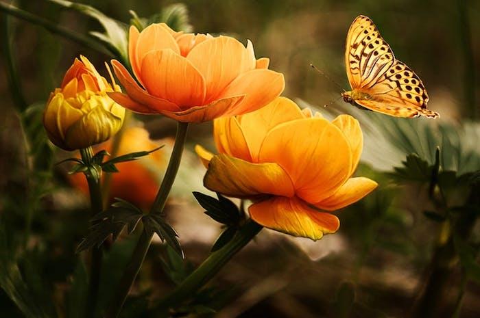 Fond d'écran fleur image de fleur fond d'écran rose pale orange papillon sur la photo de fond d'écran