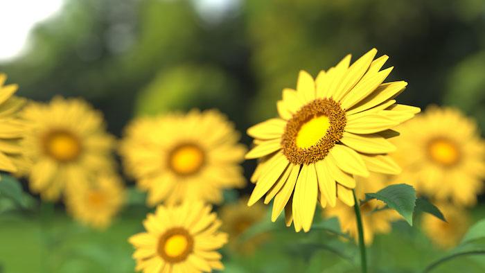 Rose fond ecran tablette fond d'écran images fleur photo tournesol jaune fond d'écran joli