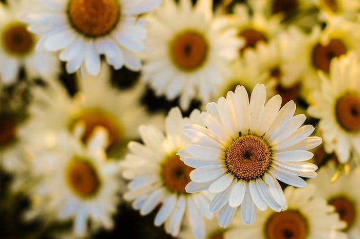 Fond d'écran de rose photo de printemps pour fond d'écran