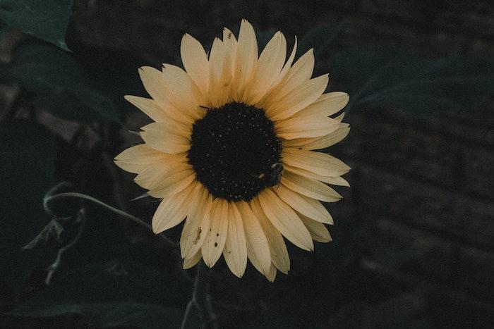 Géant fleur tournesol belle image de fleur fond d'écran fleuri image fond d'écran