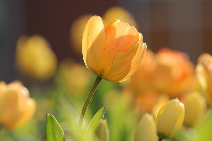 Ravissante fond d'écran gratuit fleurs de printemps flleurs tulip jaune