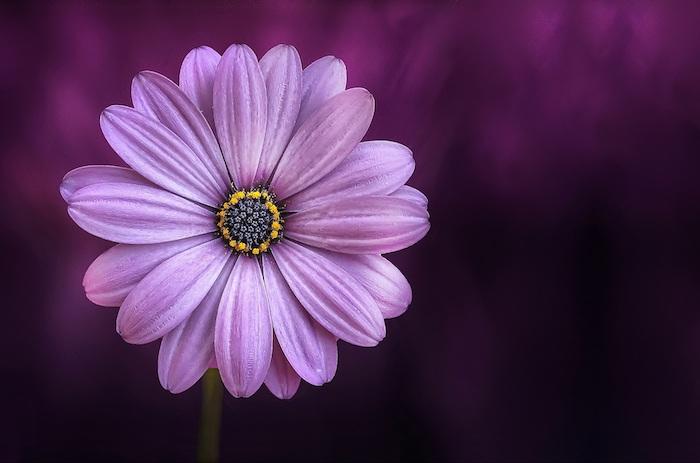 Hebus fleurs photos martinique fond d'écran image violet fond d'écran
