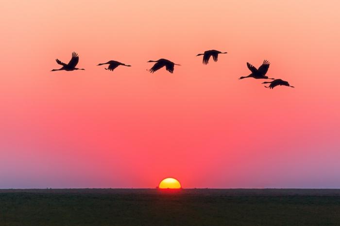 des cigognes qui survolent une plaine, ciel en rose et en violet, coucher de soleil, ambiance magique, fond ecran paysage