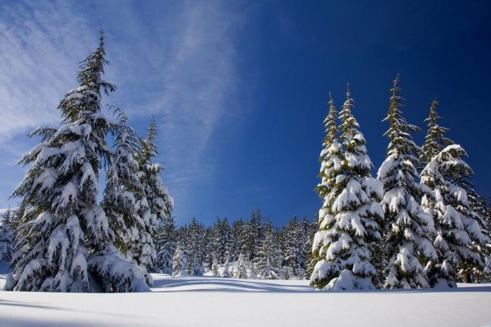 sapins hauts en neige, ciel bleu, nuages transparents, montagne ensoleillée, ambiance cool, sommets des sapins orientés vers le ciel