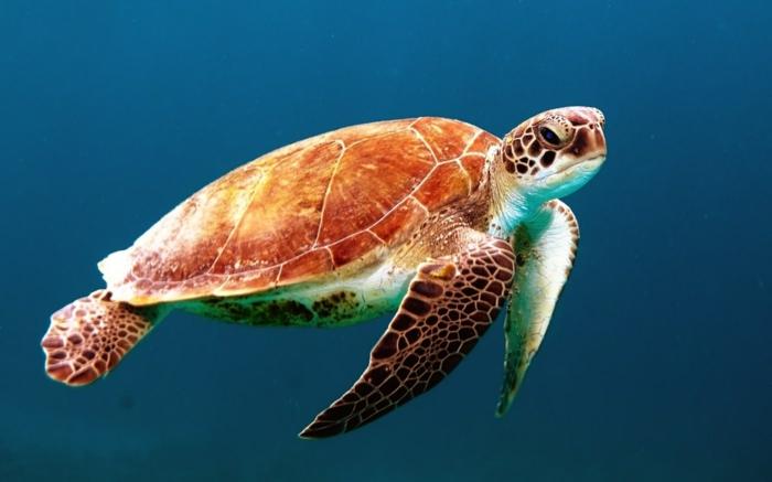 tortue marine qui nage dans l'eau, océan Pacifique, eaux bleues, tortue avec des taches marron, ambiance sous-marine paisible