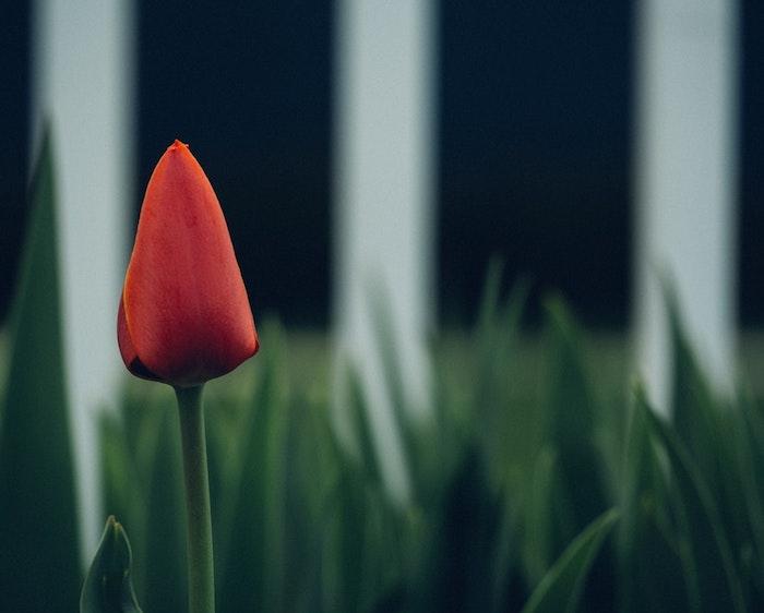 Paysage fond d'écran jolie fond d'écran fleur images tulip rouge