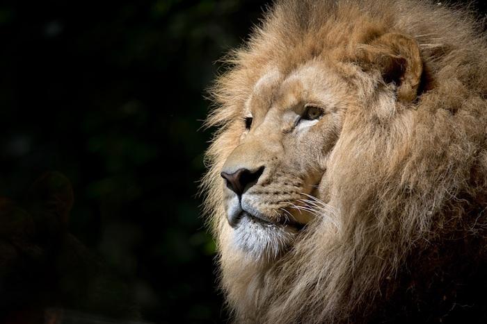Fond d'écran simple photo pour fond d'écran pour fille belle image lion magnifique
