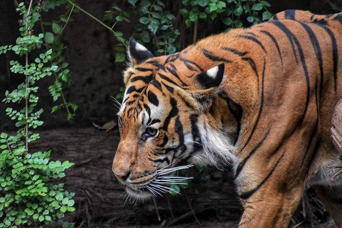 Image de fond d'écran pour fille fond d'écran stylé cool arrière plan tigre