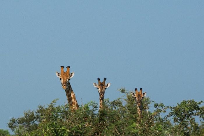 Fond d écran pour garçon image drole pour fond d écran simple giraffes arbre couronne