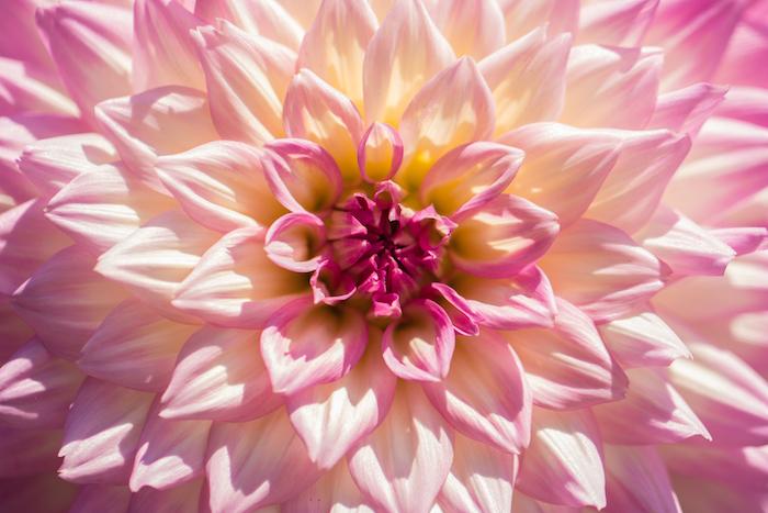 Rose fond d'écran fond d'écran iphone fleur image beauté de fleur